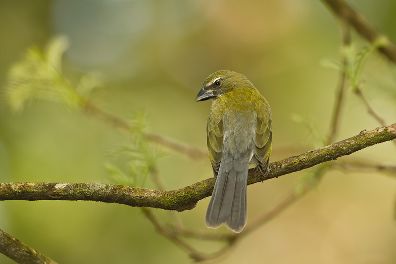 Lemon-spectacled Tanager - Panama - Jan. 2011