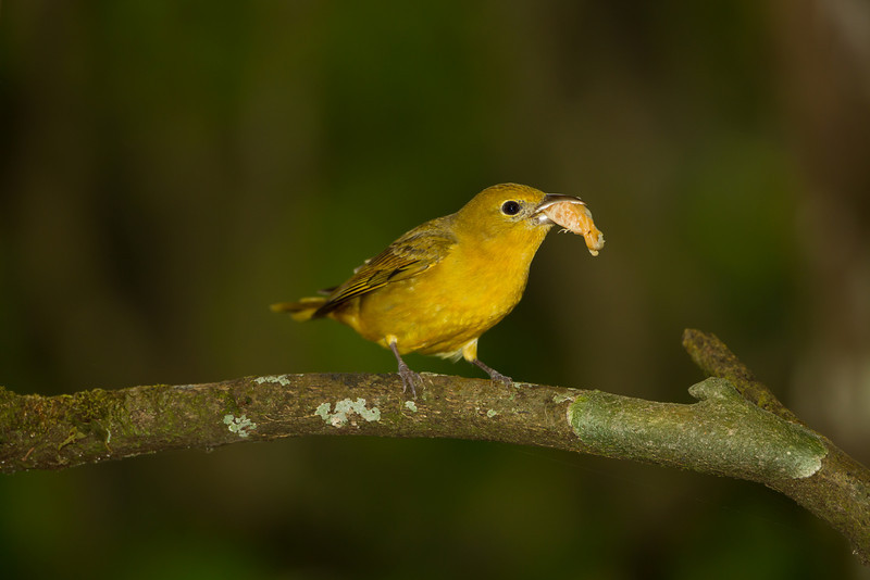 Summer Tanager, female - Panama - Jan. 2011
