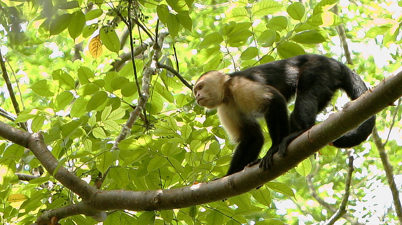 This White-Faced Capuchin was one of about 20 in a troop we witnessed following close behind a troop of Howler Monkeys on Pipeline Road in Panama