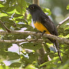Viiolaceous Trogon spotted near the Panama Rainforest Discovery Center.
