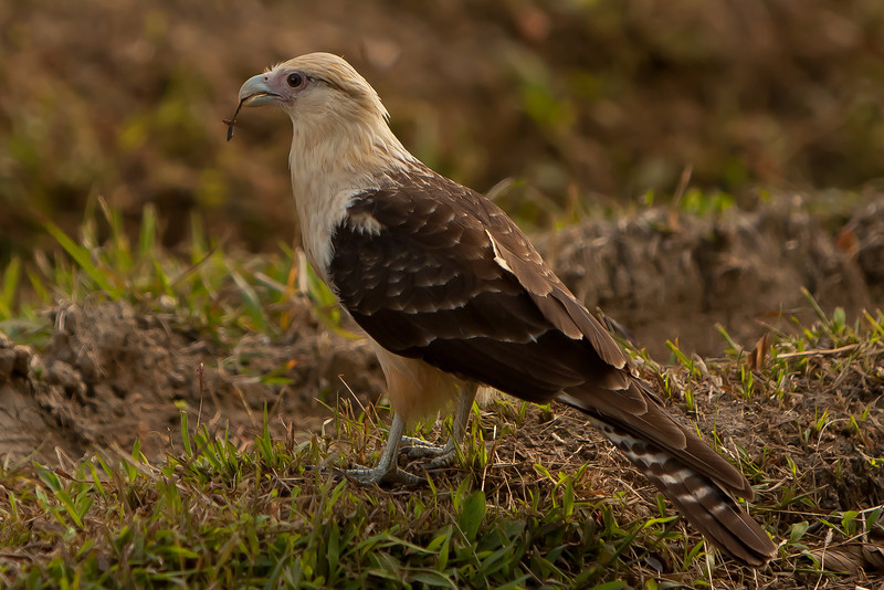 Yellow-headed Caracara - Panama, Jan. 2011