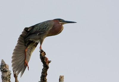 Green Heron 2009-9633