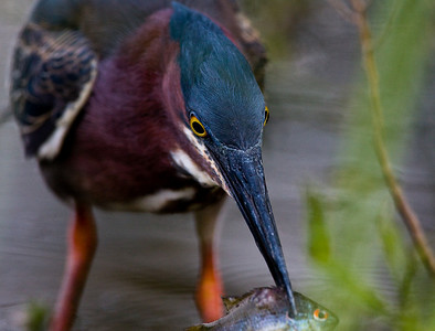 Green Heron 2009-9765