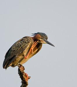 Green Heron 2009-9663