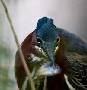 Green Heron 2009-9755