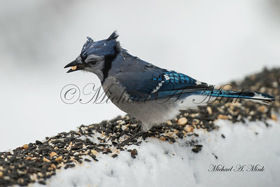 Blue Jay having a bad hair day