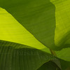 Abstract banana leaves