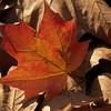 Back-lit Sugar Maple Leaf on Dried Sycamore Leaves