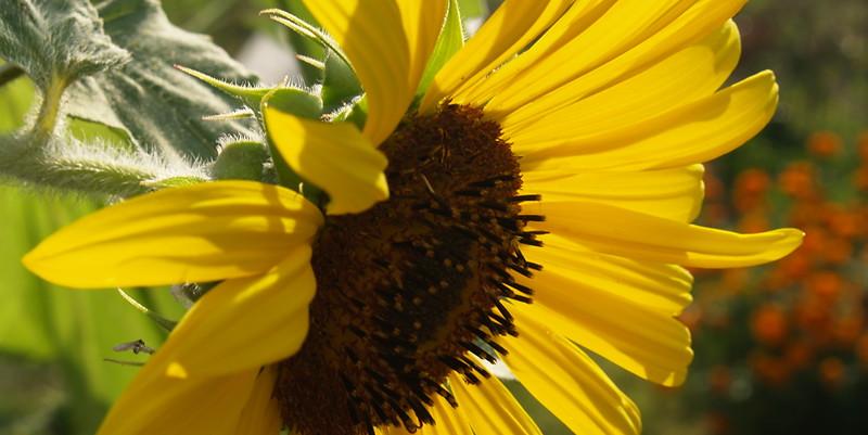 Back-lit Sunflower