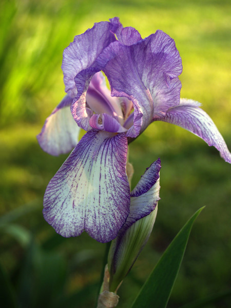 Purple and White Bearded Iris (family Iridaceae, Iris iris) in soft lime green light, with bud and leaf. Late afternoon, Bucks County, PA.