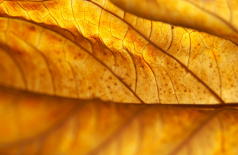 Hydrangea macrophylla leaf turned golden in fall, Pennsylvania (shallow DOF)