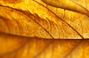 Liminality: Dead Hydrangea macrophylla Leaf, Back-lit in November