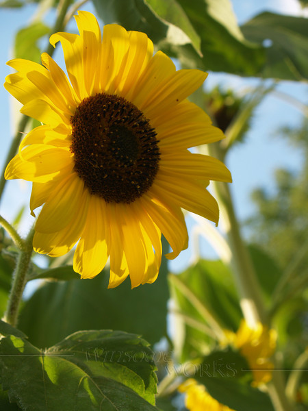 These were Sally's favorites - Sunflower; Coopersburg, PA