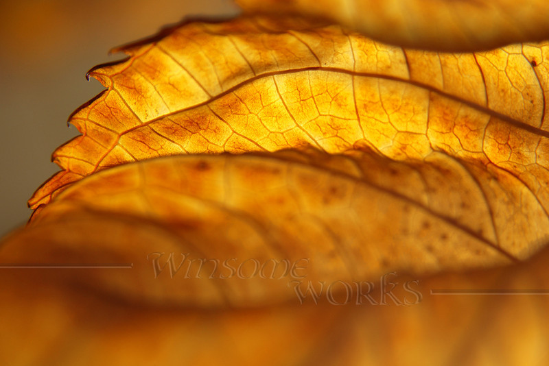 """Backlit Hydrangea Leaf Edge in November - 12""""x18"""" Print format   (Already framed; no photo yet available of finished piece)"""