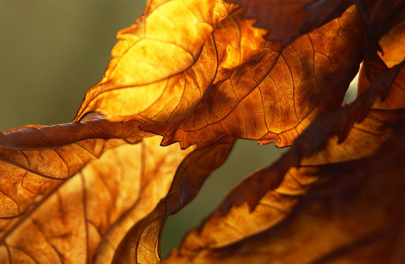 dying Hydrangea macrophylla leaves in fall, Pennsylvania