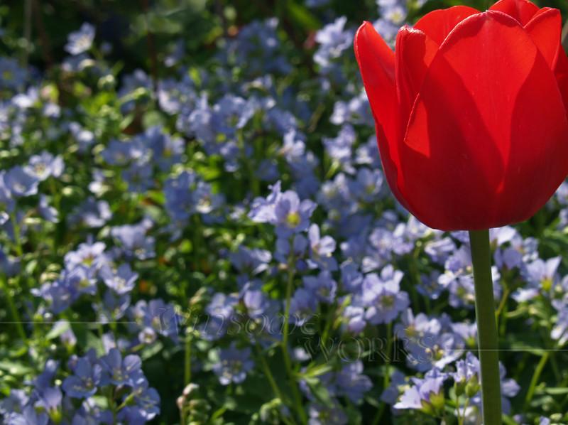 Tulip (Tulipa gesneriana) & Jacob's Ladder (Polemonium caeruleum), back-lit. May afternoon, Eastern Pennsylvania.