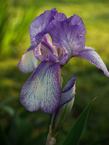 light violet and white bearded iris (family Iridaceae, Iris iris) in soft lime green light, with one bud and leaf--  late afternoon calm & shallow DOF