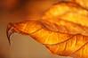Curled Hydrangea macrophylla leaf in fall, Pennsylvania