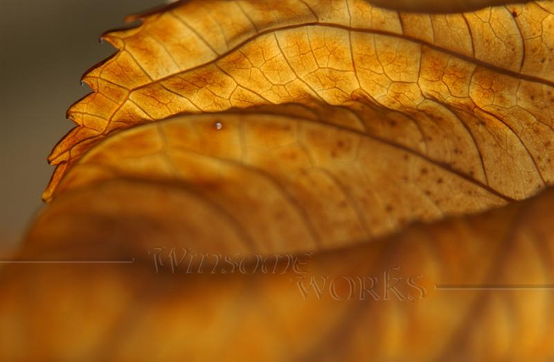 Shriveled Hydrangea macrophylla leaf, back-lit in November