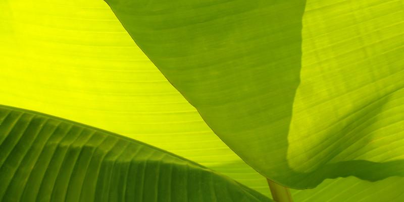Backlit leaf of banana plant in North Carolina