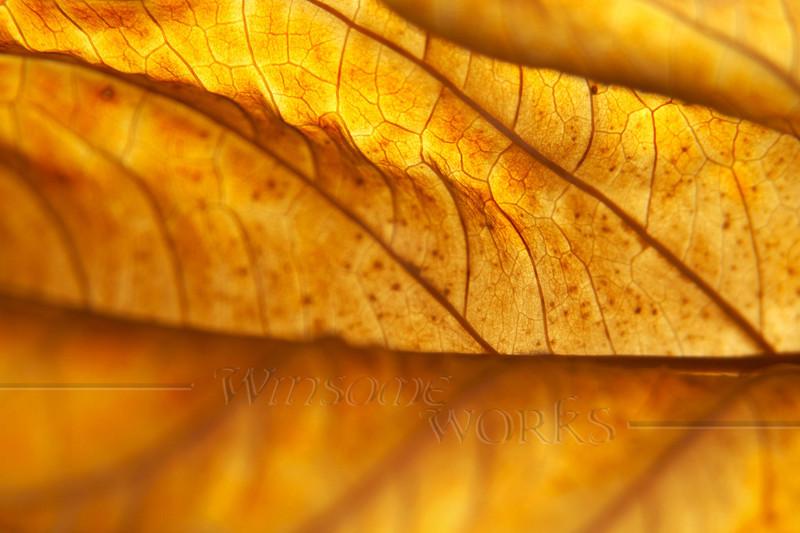 (23) Liminality: Dead Hydrangea macrophylla Leaf, Back-lit in November - Quakertown, PA