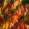 Sumac in Fall Glory