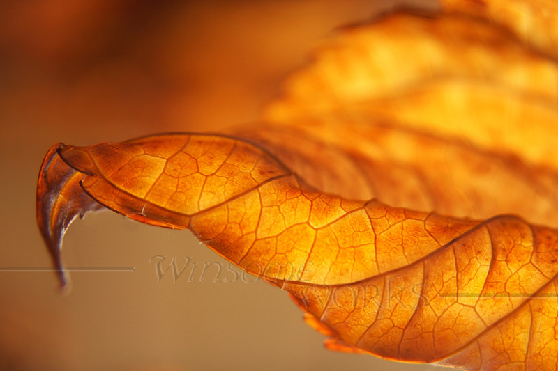 """Curled Backlit Hydrangea Leaf in November - 12""""x18"""" Print format  (Not yet matted or framed, but I have these materials on hand)"""