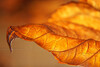 "Curled Backlit Hydrangea Leaf in November - 12""x18"" Print format  (Not yet matted or framed, but I have these materials on hand)"