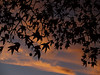 Sweetgum Tree in Silhouette (Liquidambar styraciflua); Memorial Park, Quakertown PA