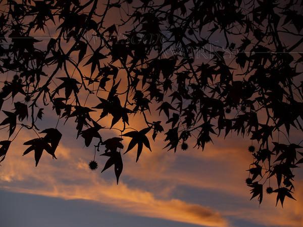 Sweetgum Tree in Silhouette (Liquidambar styraciflua); Memorial Park, Quakertown PA