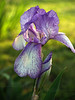#11 - Back-lit Purple Bearded Iris