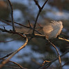 Downy Backlit Feather Perched on Wintry Branch