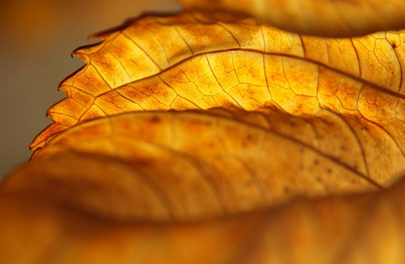 Hydrangea macrophylla leaf in fall, Pennsylvania