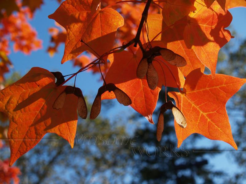 Orange Maple Leaves in Fall Brilliance