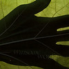 Silhouette of Hand on Catalpa Leaf