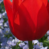 Back-lit Tulip with Jacob's Ladder
