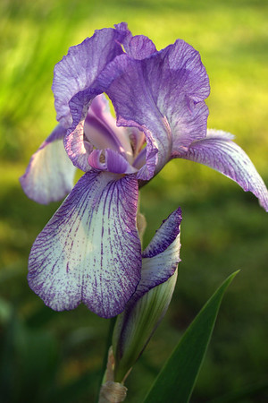 Purple and White Bearded Iris (family Iridaceae, Iris iris); Quakertown, Bucks County, PA.