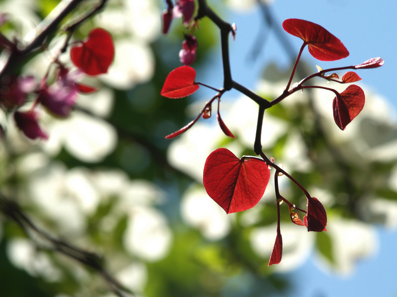 """Brilliant new heart-shaped leaves of Cercis canadensis """"Forest Pansy"""" (Eastern Redbud variety) with dogwood in background; found in Bucks County, PA in May."""