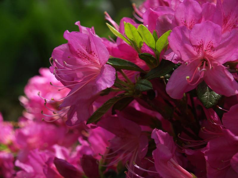 "Hot pink azalea macro (Rhododendron pentanthera ""Sherwood Orchid"")"