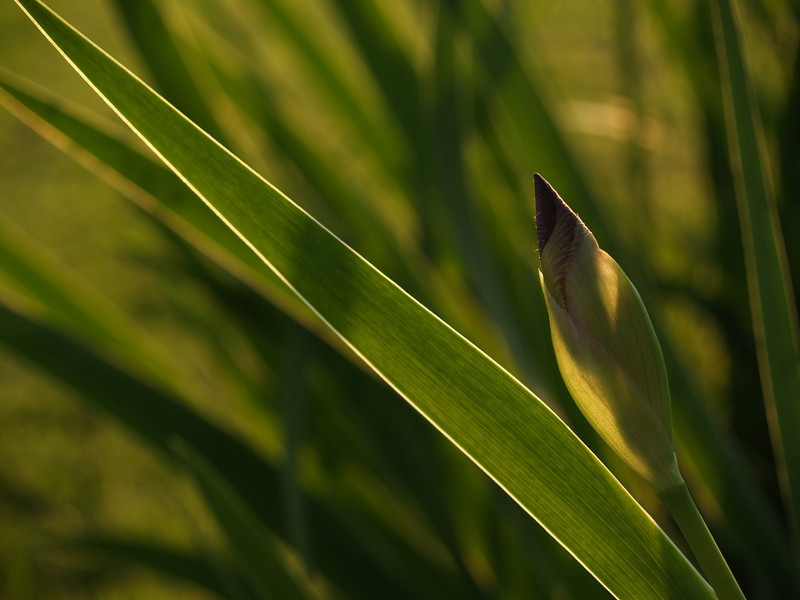 Purple Bearded Iris Bud and Leaf, Back Lit