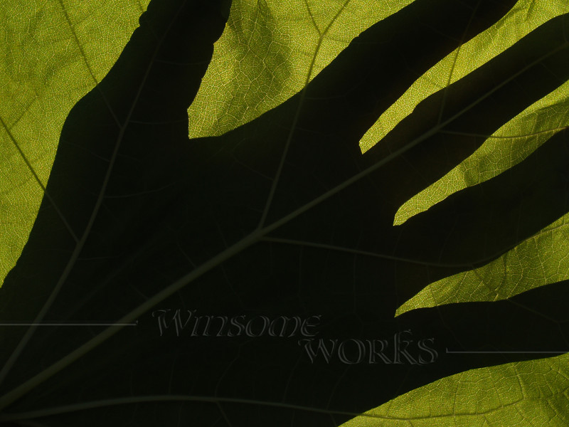 Catalpa leaf (Catalpa speciosa) backlit with hand silhouette. (catalpa is also known as catawba, cigar tree, indian bean tree,or fish bait tree)