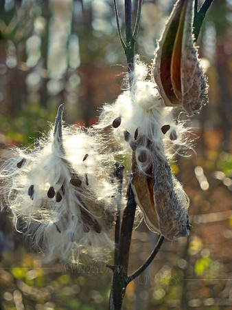 Milkweed Seed Pods Back-lit in Marsh; Autumn in PA
