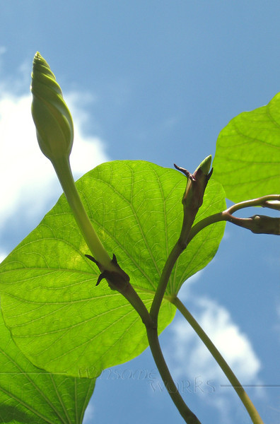 Moonflower vine (Ipomoea alba) reaches for sky... opens only at dusk. September, in Eastern PA garden.