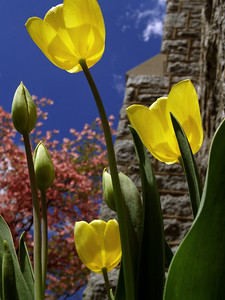Tulips (Tulipa gesneriana) by stone church, looking skyward with back lighting; Perkasie, PA