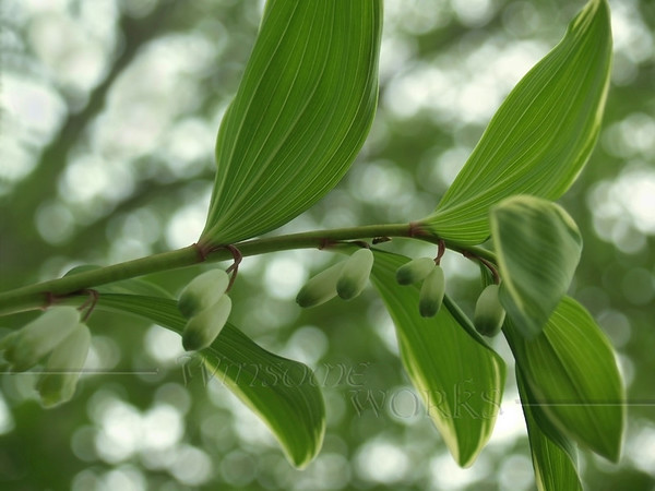 "Solomon's seal in spring (""Polygonatum Odoratum var. thunbergii"") in our backyard"