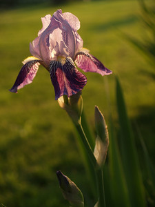 Purple Bearded Iris Back Lit in Evening