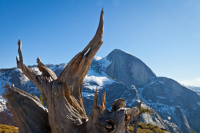 Half Dome in the background with one of Yosemite/s iconic weathered tree roots standing proudly in the forefront.