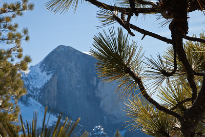 Half Dome framed by the branches of a young pine tree.