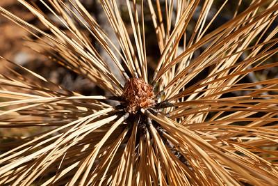 Pine tree bud.