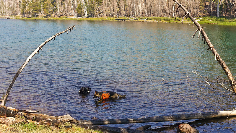 Zuri and Ventana can't wait to lose their packs... they need to cool off now!
